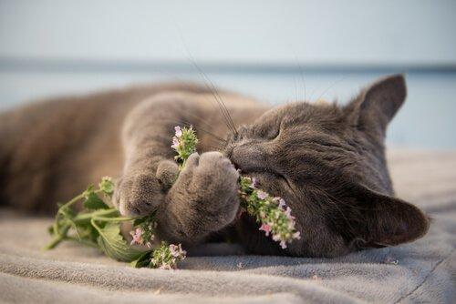 Kedi otu nedir ve neden kedileri çıldırtır?