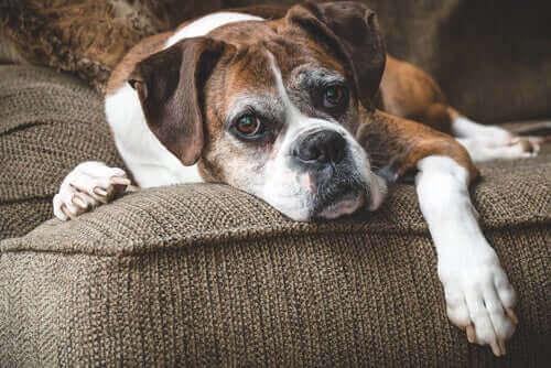 koltukta yatan kahverengi beyaz köpek