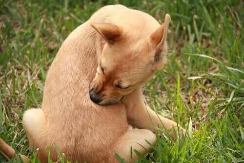 Köpeklerde Kurdeşen - Sebepleri ve Tedavileri