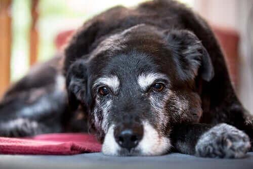 Köpeklerde Kas Atrofisi Sebepleri