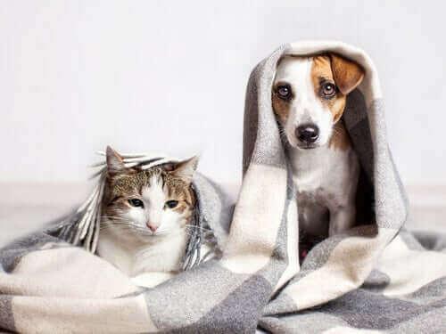 Köpek Gibi Davranan Kedi Irkları