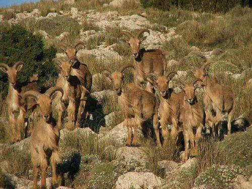 koyun sürüsü ve Berberi koyunu