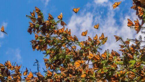 kral kelebeği sürüsü