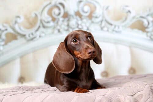 kahverengi köpek yatakta oturuyor ve köpekler uyku problemi yaşar