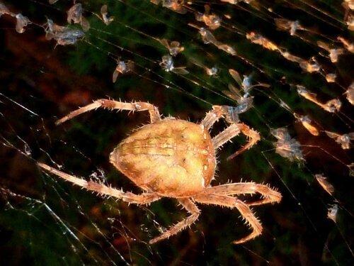 Ağ yapan örümcek