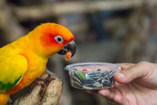 çekirdek yiyen papağan