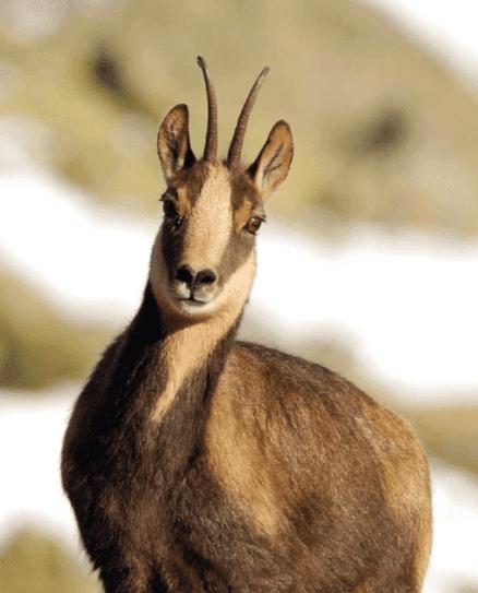 Pirene dağ keçisi kameraya bakıyor