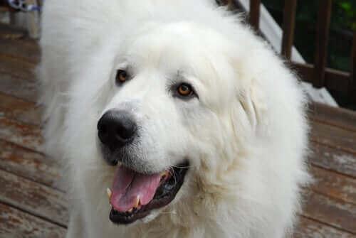 Muhteşem Büyük Pirene Köpeği Hakkında Her Şey