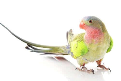 Prenses Papağanı Adını Nereden Alır?