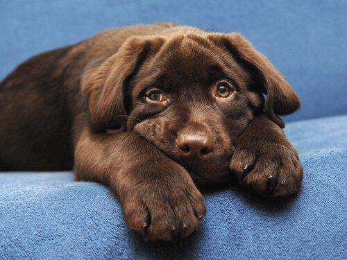labrador cinsi köpeğin rengi yaşam beklentisini belirleyebilir