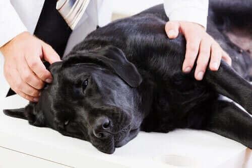 siyah hasta köpek ve veteriner