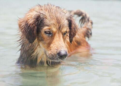 Tuzlu Su Zehirlenmesi: Deniz Suyu Köpekler İçin Tehlikeli mi?