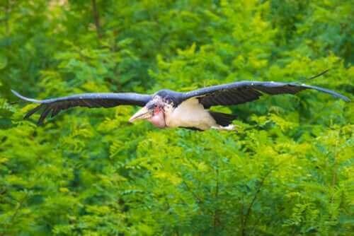 uçan murabut kuşu