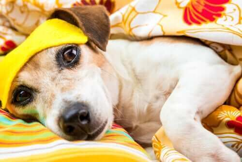 Köpekler Uyku Problemi Yaşar Mı?