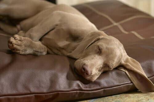 koltukta uyuyan köpek ve köpeklerde gece uykusuzluğu