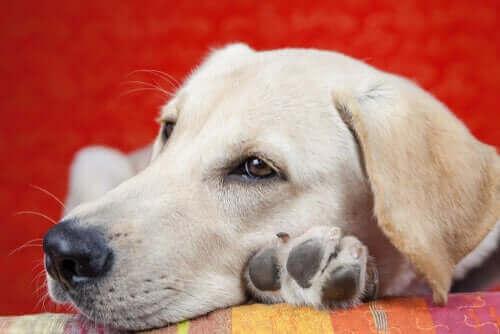 Köpeklerde Uyuşukluk Nedenleri