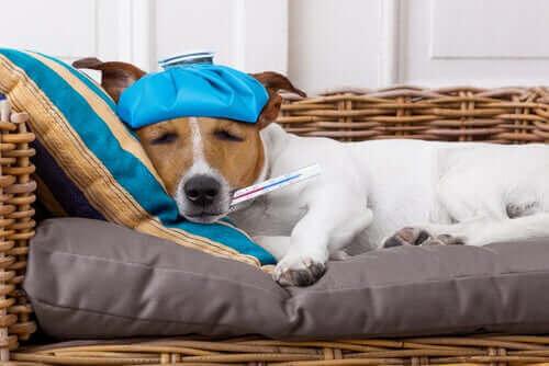 ateşi olan köpek uyuyor