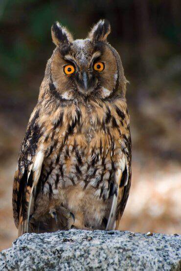 uzun kulaklı baykuş