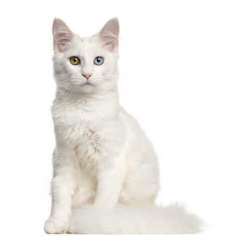 beyaz tüylü kedi