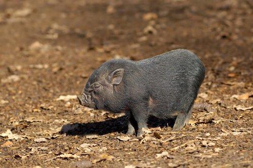 vietnam domuzu yavrusu