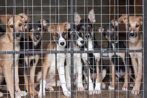 Köpekleri Kısırlaştırmak için En Uygun Yaş