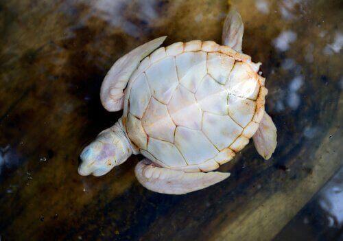 Beyaz Kaplumbağalar Hakkında Bilmeniz Gereken Her Şey
