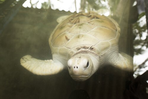yüzen beyaz kaplumbağa