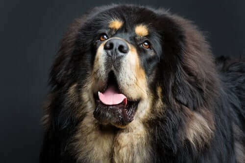 hairy and dark giant dog
