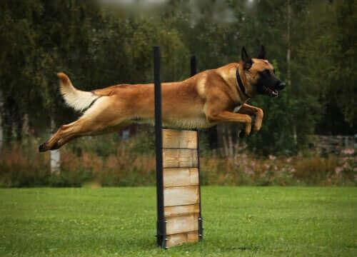 Köpeklerin Egzersiz Yapmasının Önemi