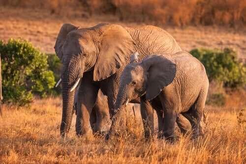 Vahşi Filler: Davranışları Hakkında İlginç Gerçekler