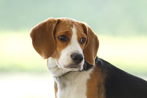 köpeklerde göz iritasyonu