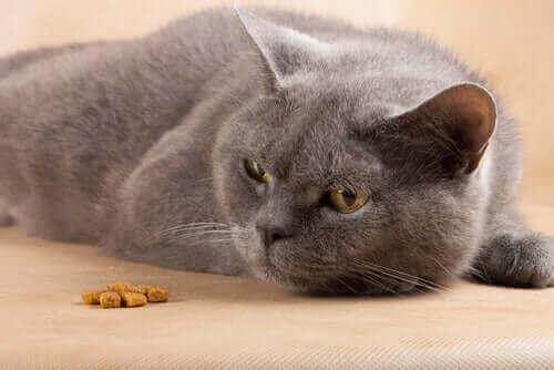 gri kedi yerde yatıyor ve kedilerde dizanteri