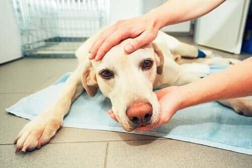 dalak hastalığı yaşayan köpek
