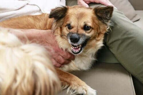 Köpeklerde Hırlama - Sebepleri