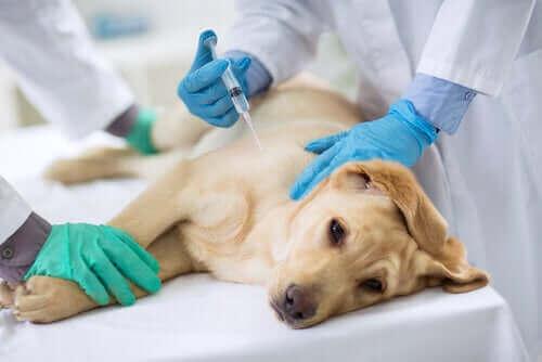 iğne olan sevimli sarı köpek ve köpeklerde dirofilariasis