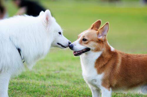 İki Köpek Nasıl Arkadaş Edilir