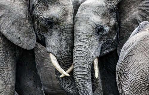 erkek ve dişi fil