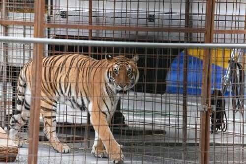 Esaret Altındaki Vahşi Kedilerde Yaygın Hastalıklar