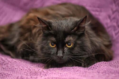 kahve siyah kedi kürkü