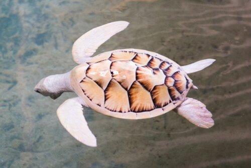 kahverengi desenli beyaz kaplumbağa