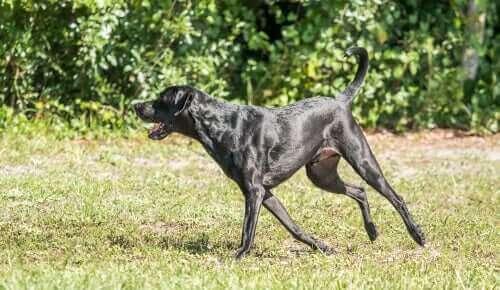 kalça displazisi siyah köpek