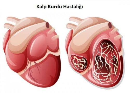 İçinde kurt olan kalp ve kalp kurdu hastalığı