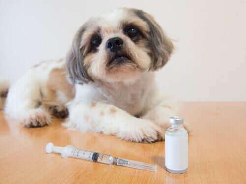 önünde insülin enjeksiyonu duran küçük köpek