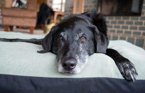 Köpek Beyin Yaşlanması Nasıl Tespit Edilir?