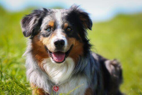 köpek beyin yaşlanması belirtileri
