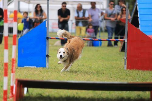 köpek yarışıyor