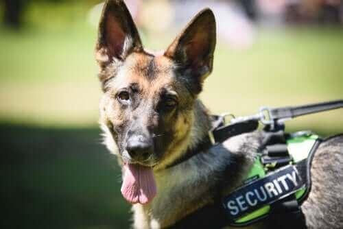 Polis Köpeklerinin Eğitimi: Hizmetten Emekliliğe