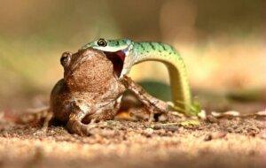 kurbağa yiyen yılan