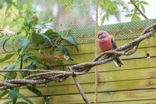 gül karınlı muhabbet kuşu