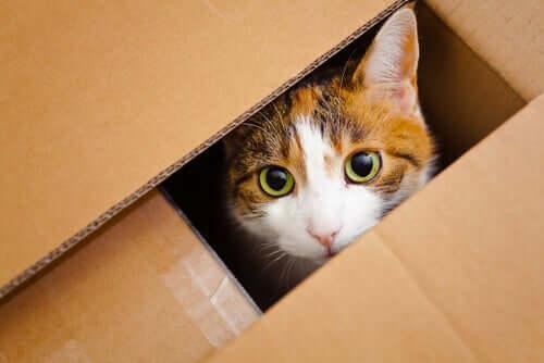 kutu içinden bakan kedi